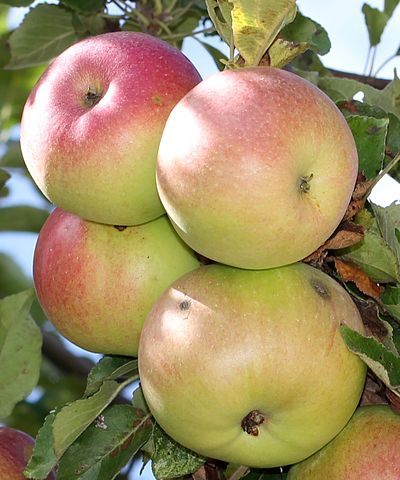 400px-Apples_on_tree_2011_G1_cropped